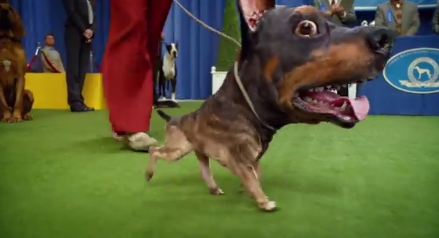 The Doberhuahua at a dog show